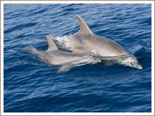 Kijken naar de tuimelende dolfijnen in de Bali zee.