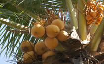 Tropische fruitbomen in de tuin van Villa Bima Sena op Bali.