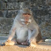 Makaak aap op Bali.