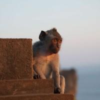 Op Bali zie je heel veel apen.