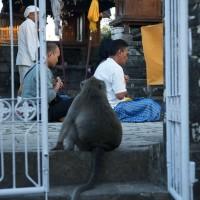 Op Bali leven apen gewoon tussen de mensen.