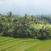 Rijstvelden tussen de bomen op Bali.