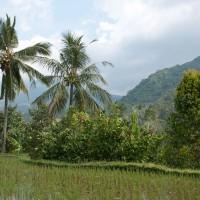 Palmbomen en rijstvelden wisselen elkaar af op Bali.