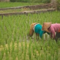 Op Bali werken nog veel mensen op de rijstvelden.