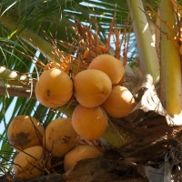 Op Bali pluk je de vruchten zo van de bomen.