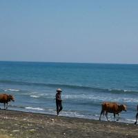 De boeren lopen gewoon met hun koeien op het strand op Bali.