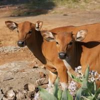 Op Bali lopen de runderen vrij in het rond.