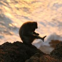 Eén van de apensoorten op Bali is de Makaak.