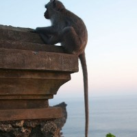 Op Bali leven heel veel soorten apen en die kom je overal tegen.